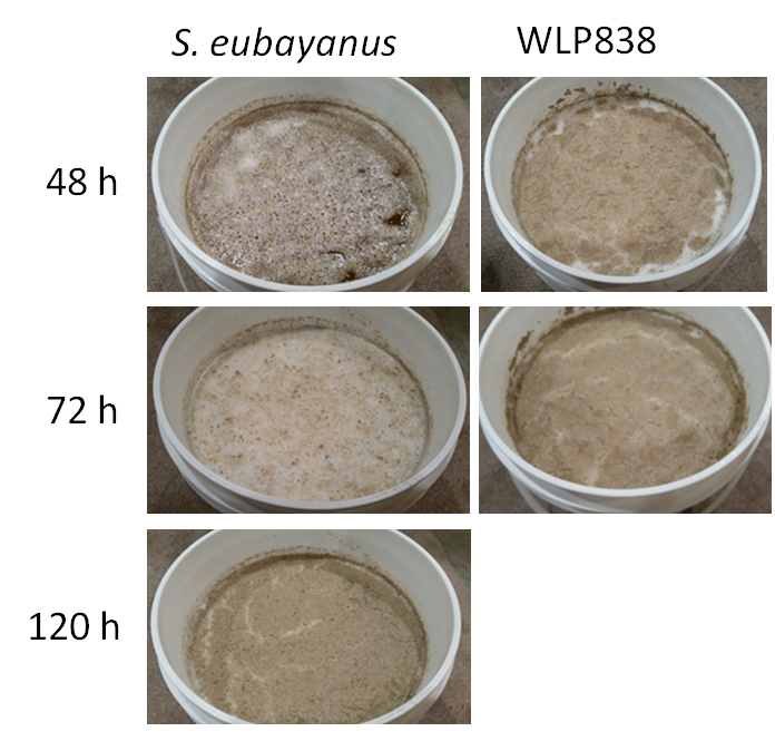 S. eubayanus vs WLP838